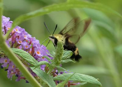 Yellow Clearwing Hummingbird Moth