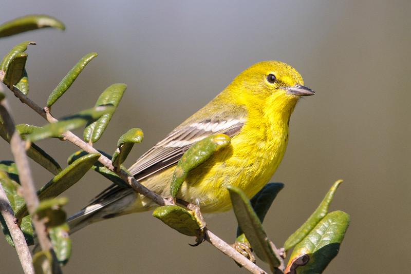 Warbler - Pine - Bald Point State Park - FL