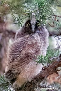 Long-eared Owl, Malheur National Wildlife Refuge, USA