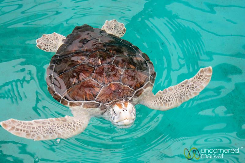 Hawskbill Sea Turtle at Mexican Turtle Center, Mazunte