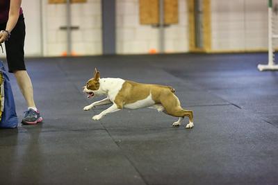 Agility Dogs 6-14-16