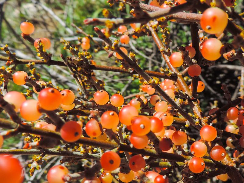 Desert Mistletoe  (Phoradendron californicum) VISCACEAE