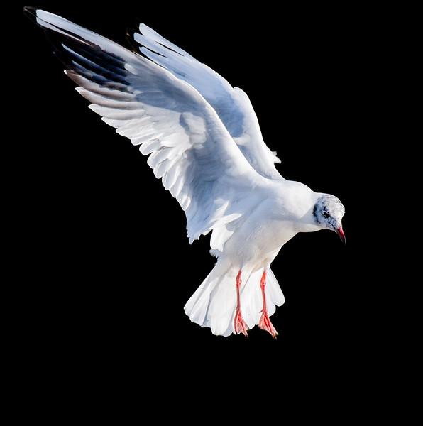 Side view of a Black-headed gull in flight