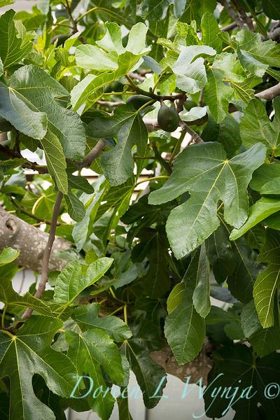 Ficus carica_1879.jpg