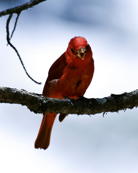 Summer Tanager (Breeding m)