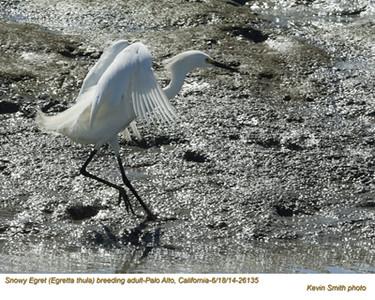 Snowy Egret A26135.jpg