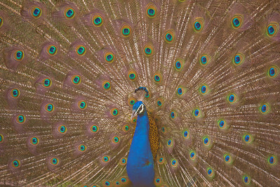 Mating display of Indian peafowl