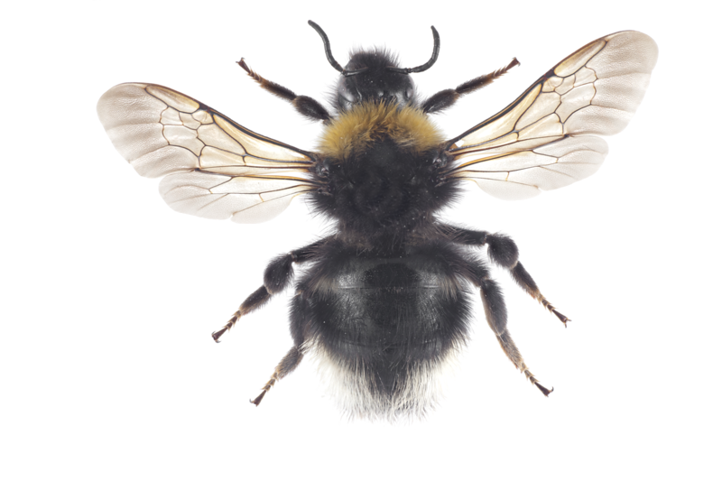 Bombus_norwegicus_dr_2011-09-15_orginal-Edit.png