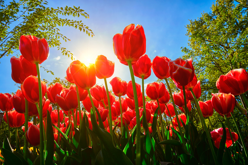 Blooming red tulips against blue sky background with sun from low vantage point. Keukenhof flower garden, Lisse, the Netherlands.