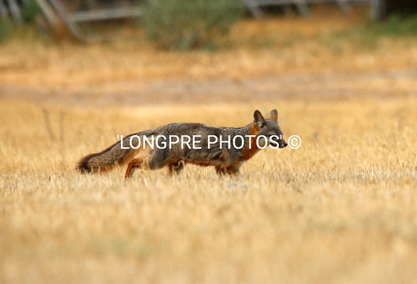 CATALAN ISLAND FOX on the move.    4-25-15