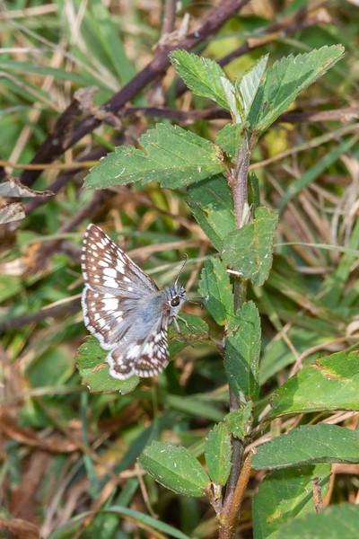 Common Checkered-Skipper (White Checkered Skipper)  - Pyrgus communis