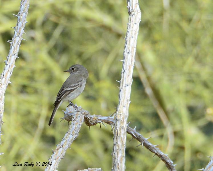 Gray Flycatcher - 2/2/2014 - Casa Del Zorro, Borrego Springs