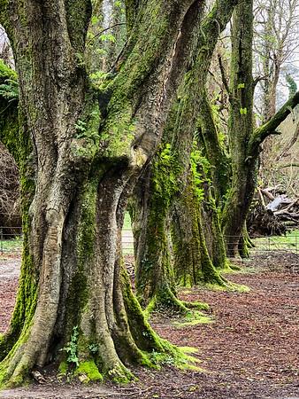 The Trees of Ireland