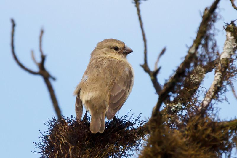 Small Tree-Finch at Santa Cruz, Galapagos, Ecuador (11-20-2011) - 764.jpg