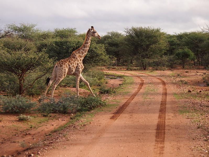 P3281160-giraffe-crossing.JPG
