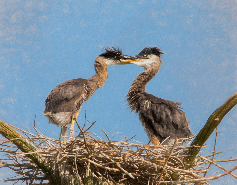 JWS_7207 two baby birdsherons.jpg
