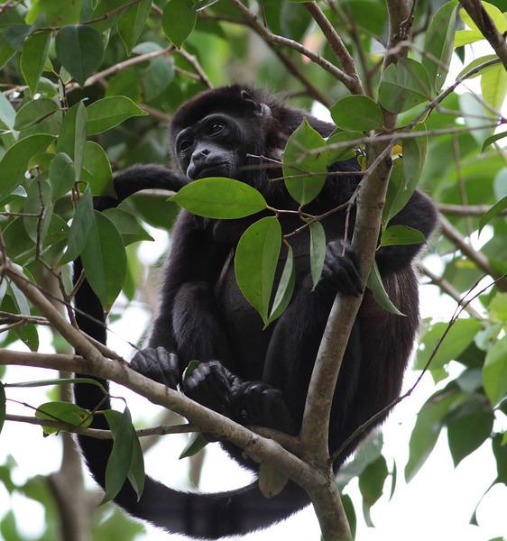 costa_rica_howler_monkey_15.JPG