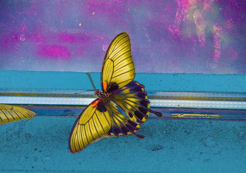 Yellowbutterfly-133-Edit.jpg