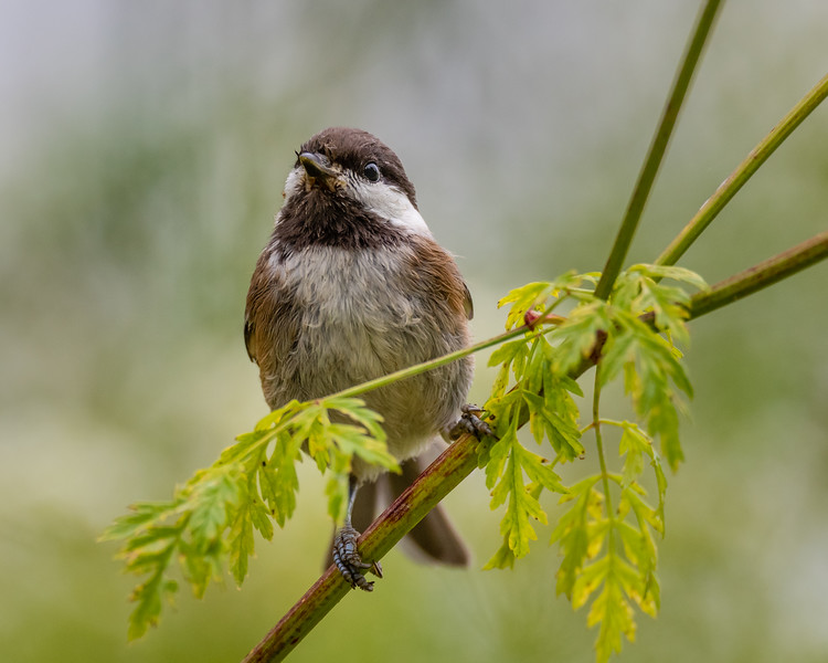 Chestnut-backed Chickadee,