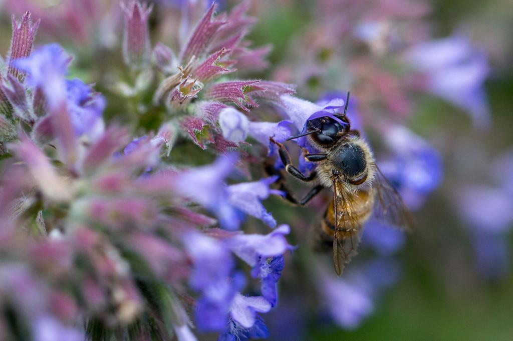 . A honeybee sticks its head into a Catmint flower. (Pioneer Press: Andy Rathbun)