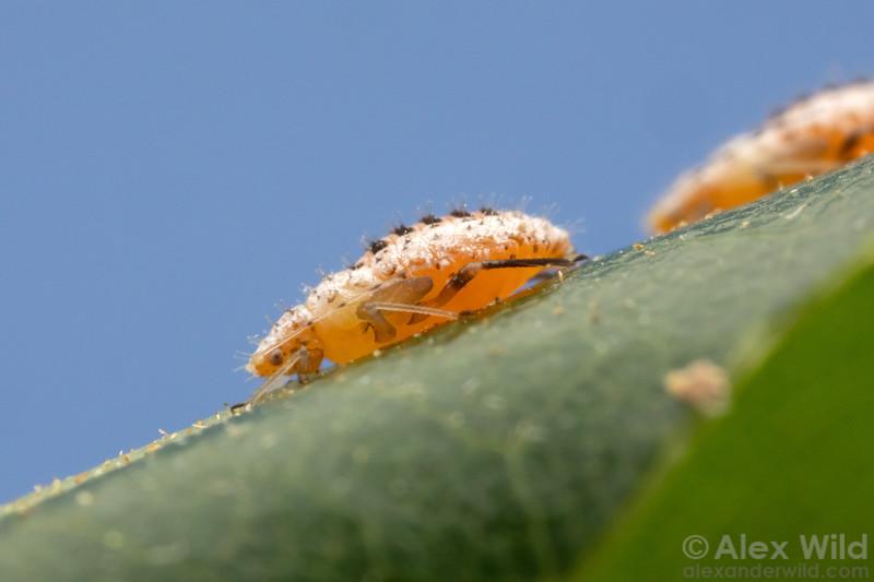Myzocallis