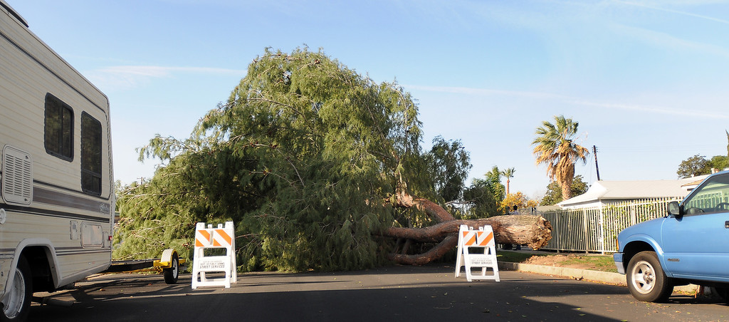 . A large pine tree fell across the 7800 block of  Chastain Ave., in Reseda, CA sometime after midnight on February 20, 2014.  The tree damaged a couple of vehicles and knocked out electricity to the neighborhood. (Photo by Dean Musgrove/Los Angeles Daily News)