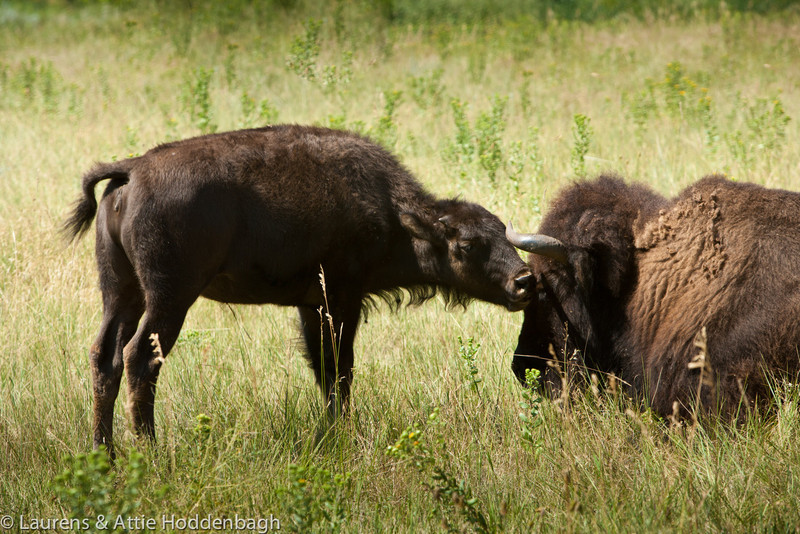 Bison in Custer SP
