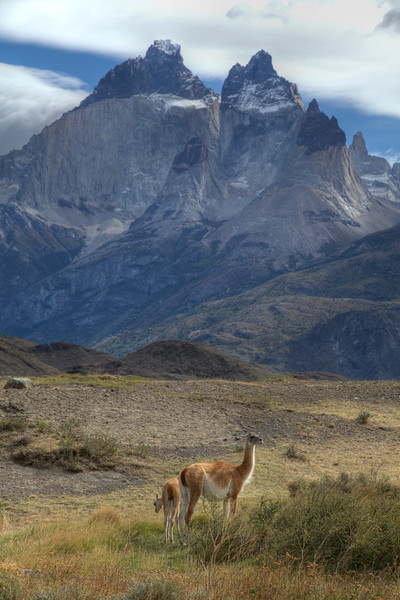 Guanacos call Torres del Paine home. Torres del Paine National Park, Chile. (HDR)