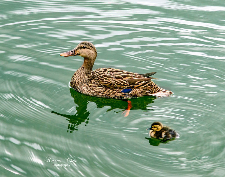 Mom and Baby Duck sm.jpg