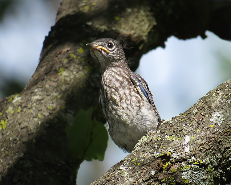 sx50_bluebird_fledge 5_17 818.jpg