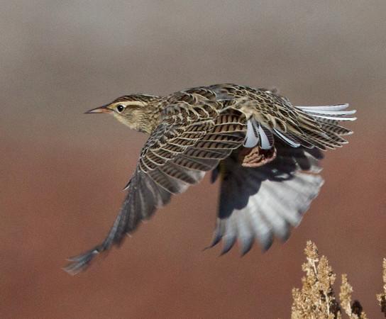 Western Meadowlark Sturnella neglecta