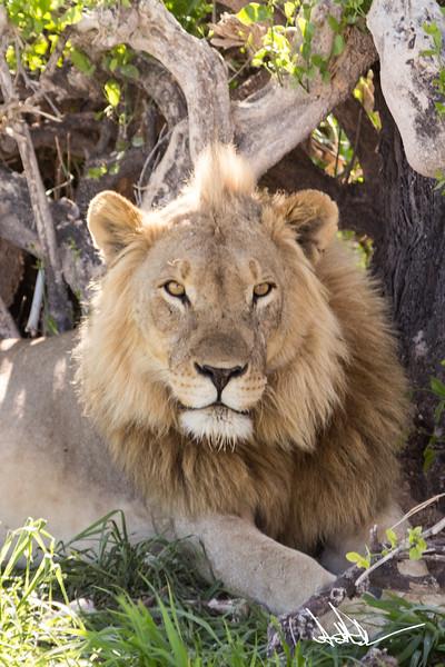 Lions Etosha-S-6.jpg