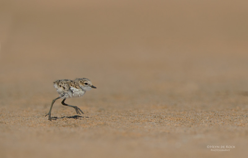 Red-capped Plover, chick, Lake Wolumboola, NSW, Aus, Jan 2014.jpg