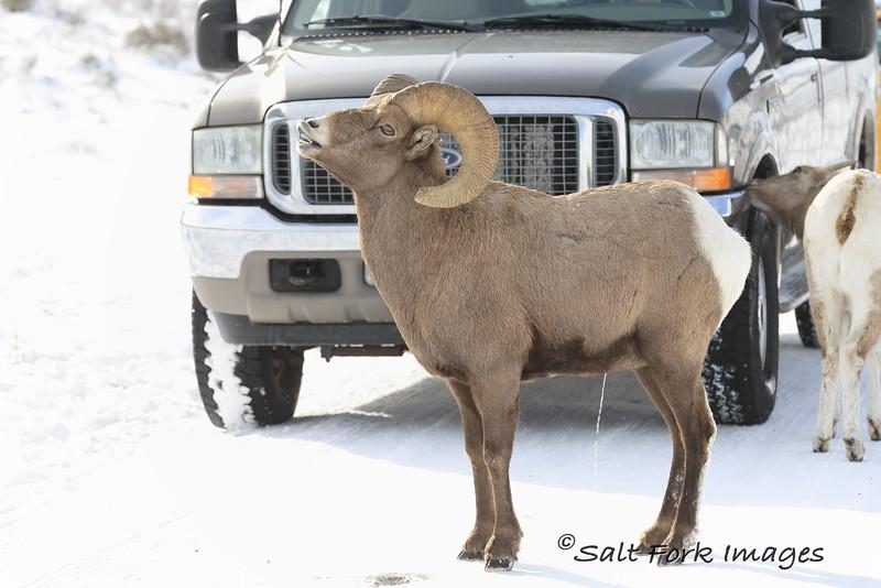 Bighorn Ram doing a lip curl at the National Elk Refuge - Jackson Hole, Wyoming