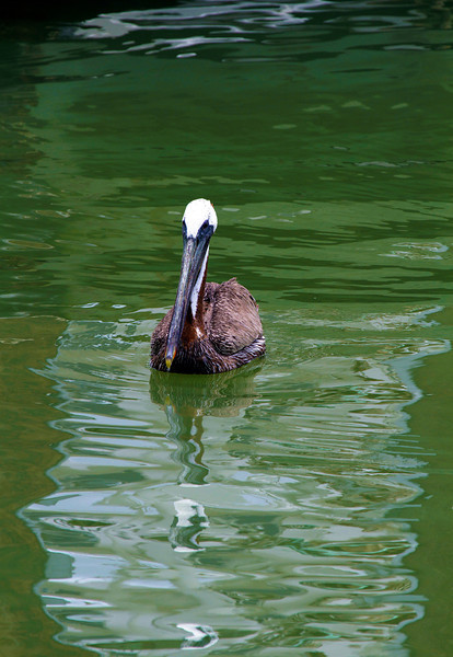 A brown pelican swimming in Galveston Harbor