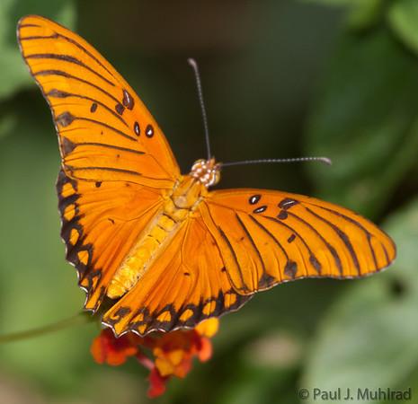Arizona Butterflies