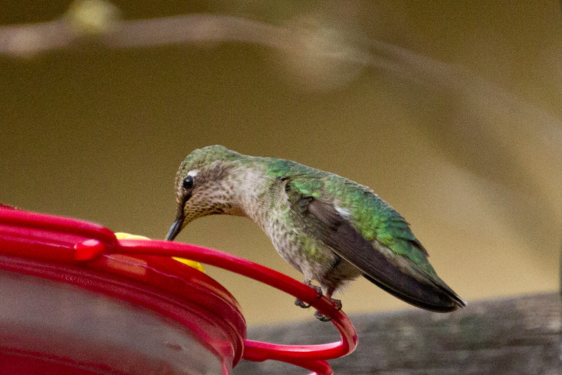 Backyard_Birds-Mar2012-32.jpg