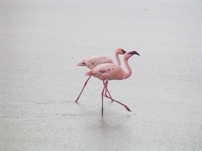 Flamingos and Kin