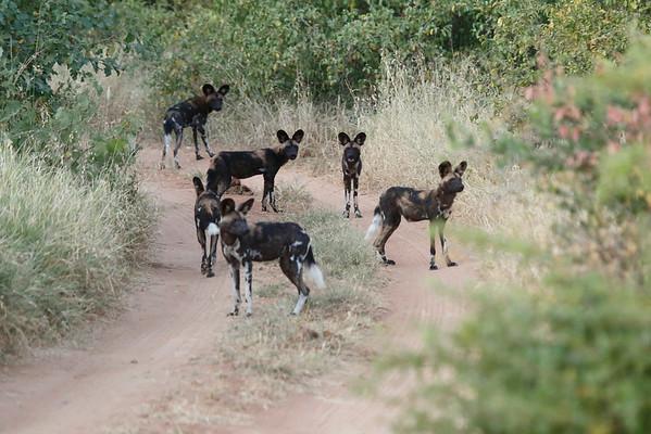 African Wild Dog Sarara 2014