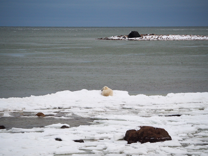 Polar bear on the Hudson Bay
