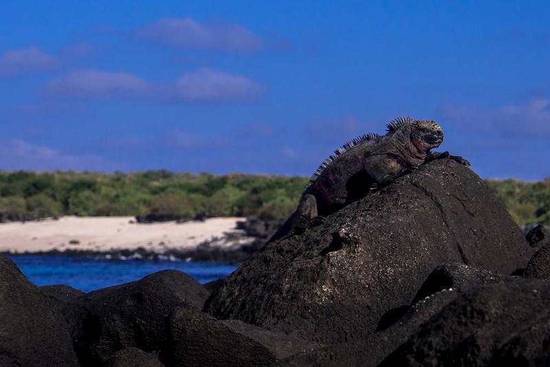 marine iguana on rock.jpg