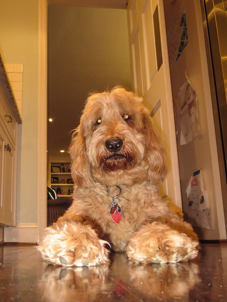 Cody the Goldendoodle