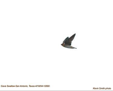CaveSwallow12890.jpg