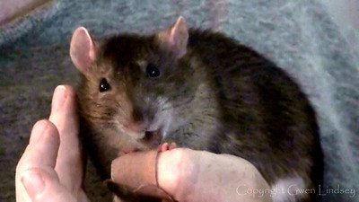 Rats and Evil Bandaids