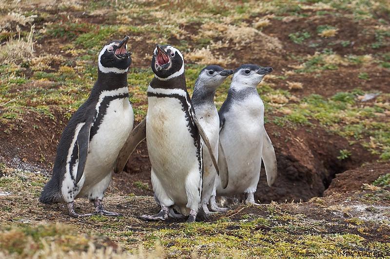Magellanic Penguin family