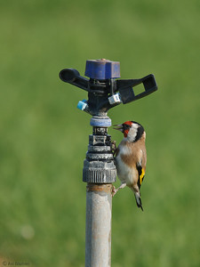 Goldfinch and sprinkler