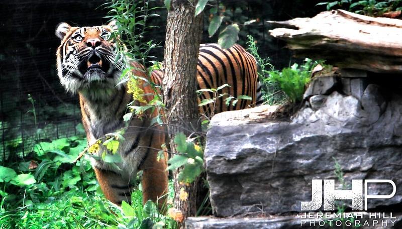 """Toronto Tiger #4"", Toronto Zoo, 2013 Print JP13-99-486"