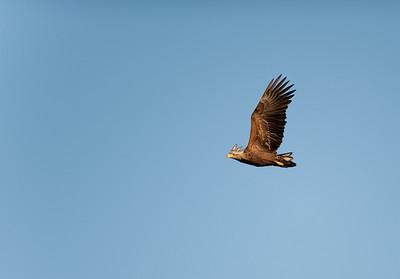 White-tailed Eagle / Havsörn / Haliaeetus albicilla