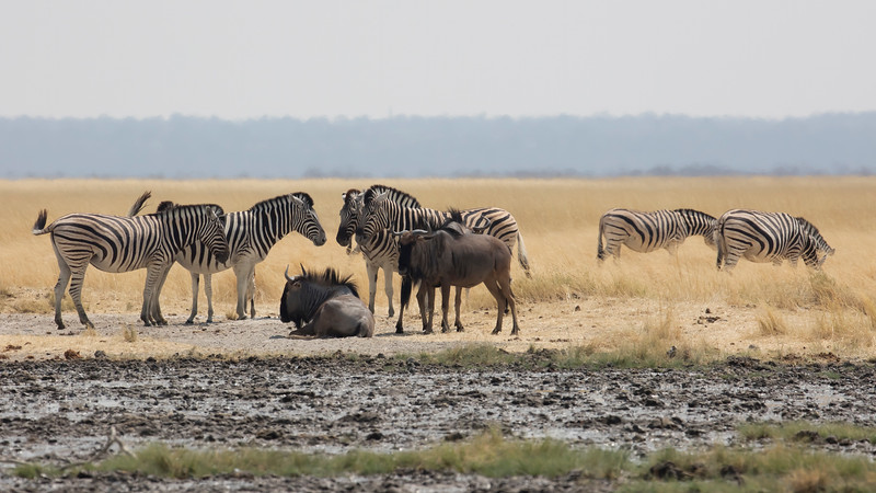 Blue Wildebeest & Burchell's Zebra (sub-species of Plains Zebra)