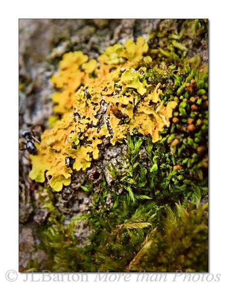 Minature Garden Yellow tree lichen